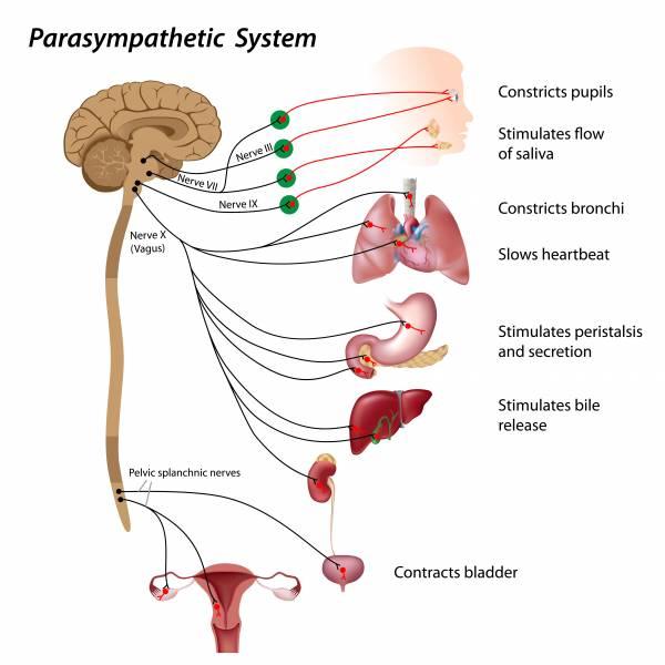 beneifts of vagus nerve on gut health